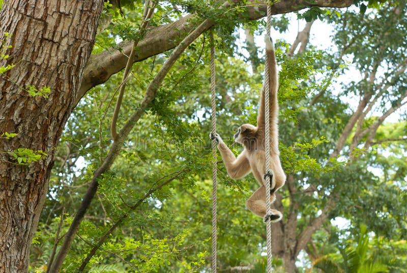 Gibbon золотистых щек Стоковые Фотографии RF