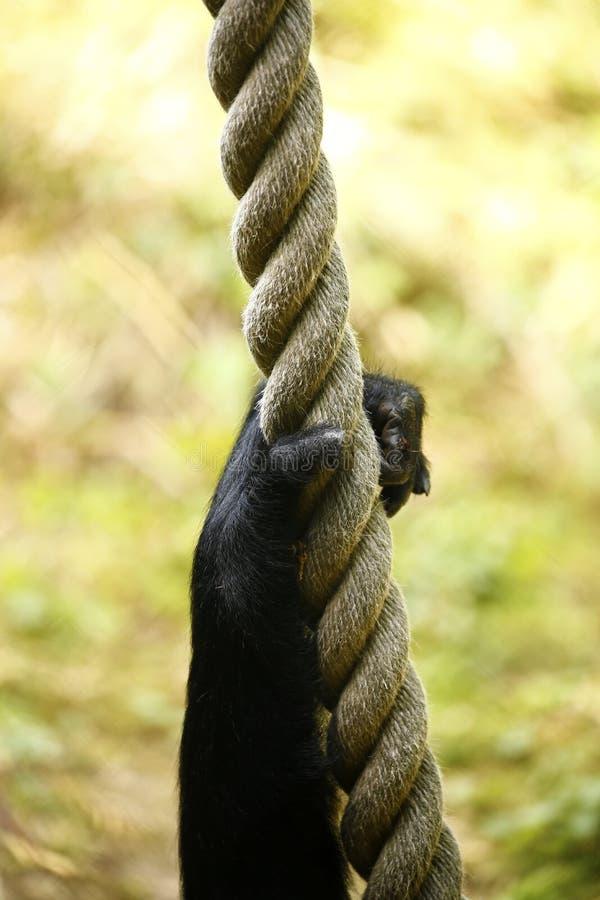 Gibbon& x27; 坚持绳索使用的s胳膊和手 图库摄影