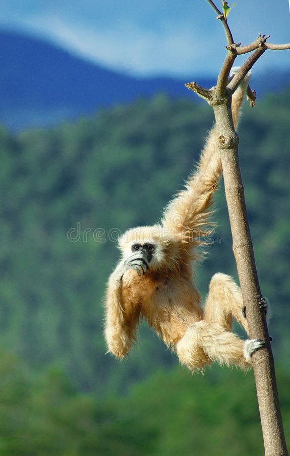 Gibbon stock photography