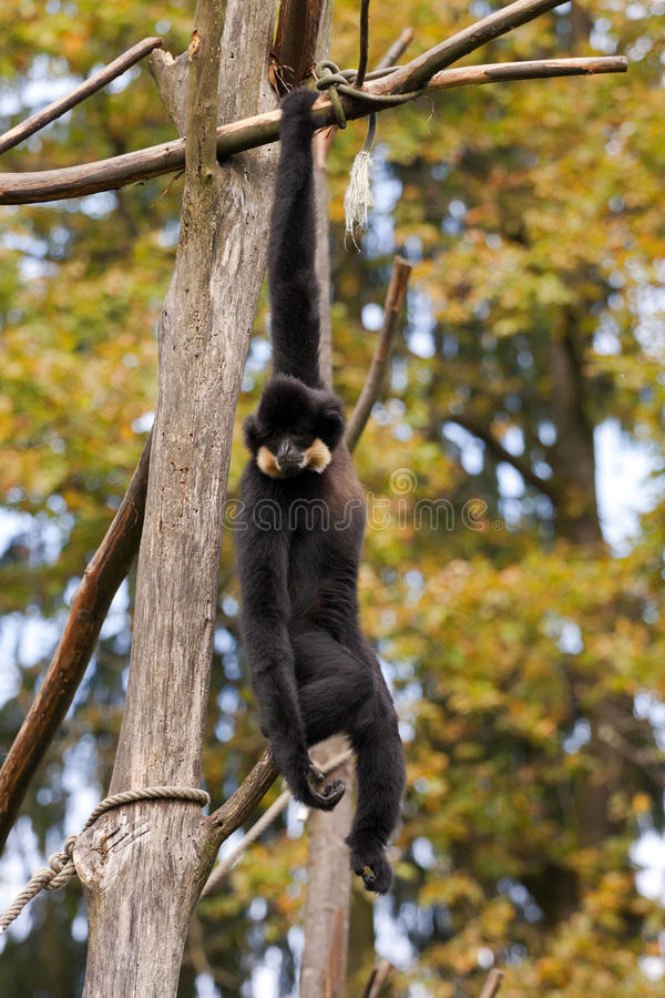 Gibbon fotografia de stock