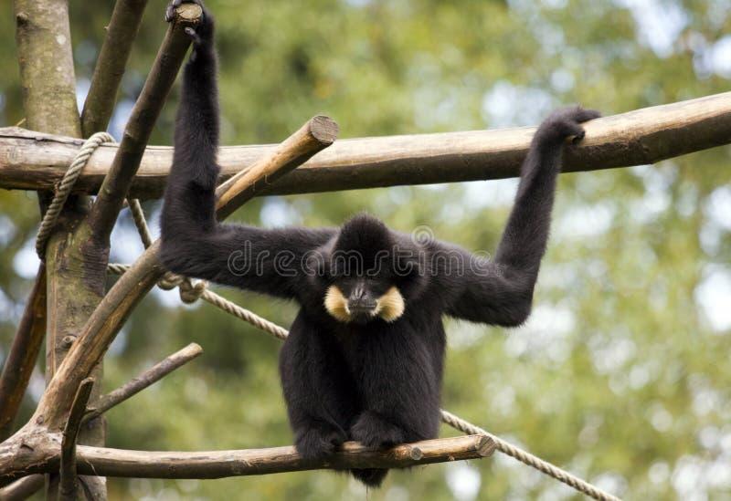Gibbon foto de stock royalty free