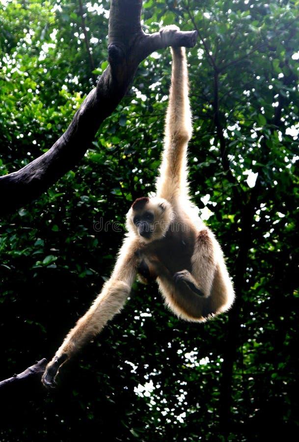 Gibbon royalty-vrije stock afbeelding