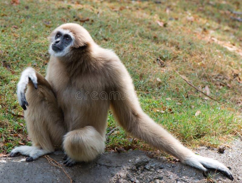 Gibbon image libre de droits
