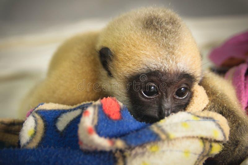 Gibbon imagens de stock
