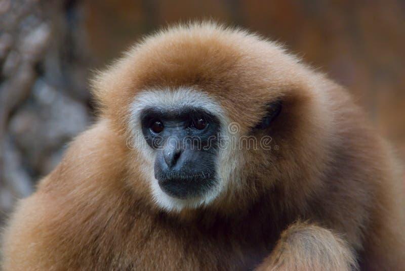 gibbon стоковая фотография rf