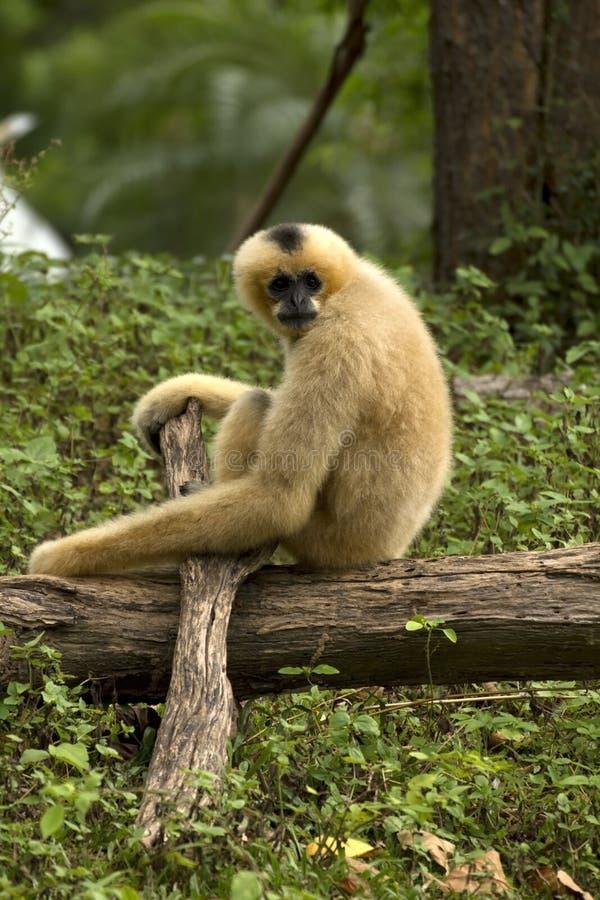 gibbon fotografering för bildbyråer