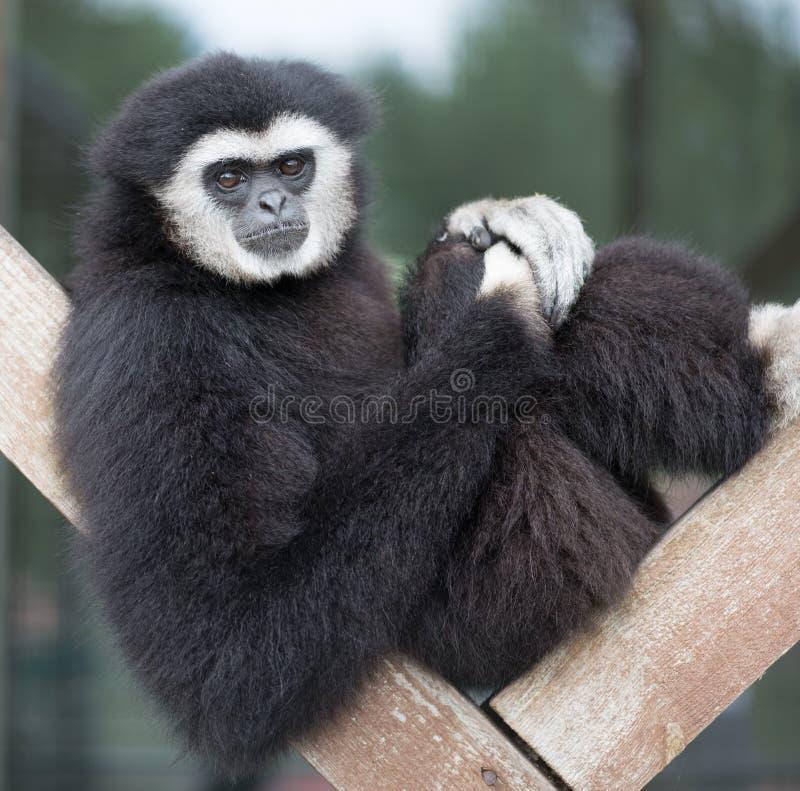 Gibbon. Sitting on wooden beams royalty free stock photos