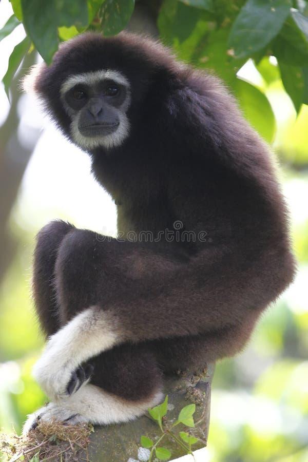 Gibbon 1 imagem de stock royalty free