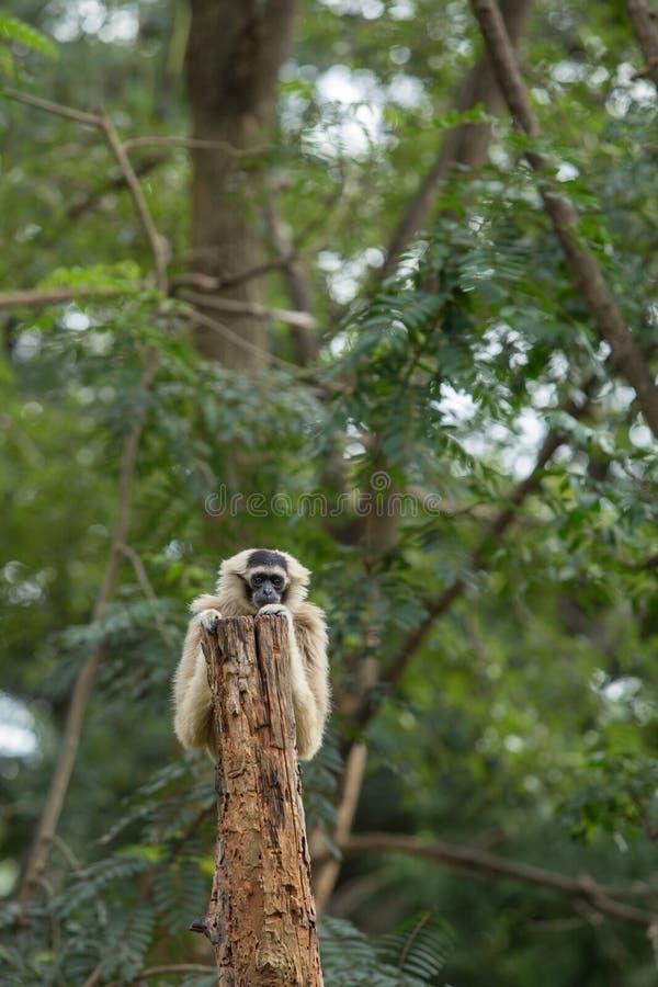 Gibbon royalty-vrije stock foto