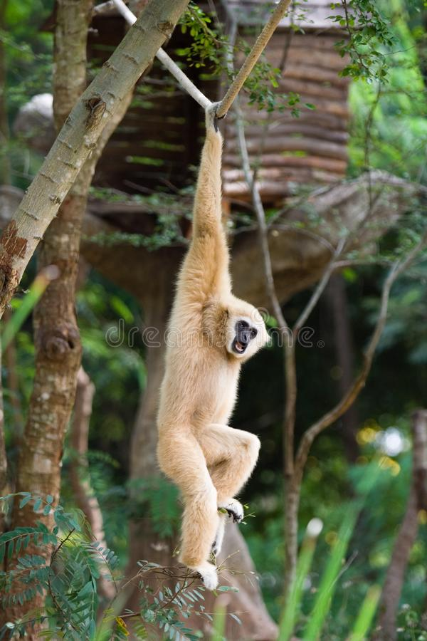 Download Gibbon stock image. Image of nature, gesturing, tropical - 3525641