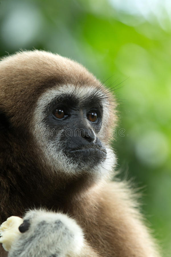 Gibbon. Close- up face in zoo royalty free stock photo