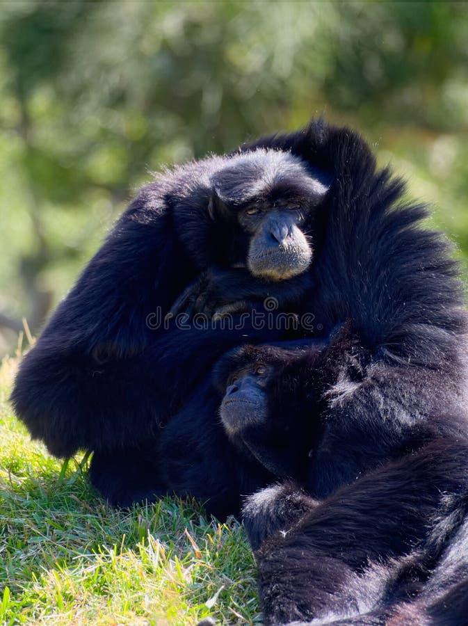 gibbon lizenzfreie stockfotografie