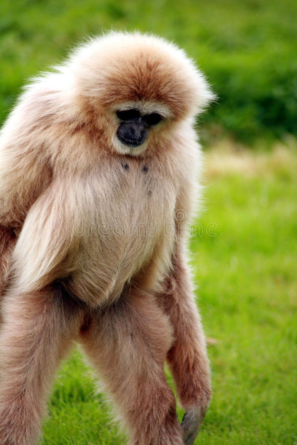 Download Gibbon Royalty Free Stock Photography - Image: 5297367