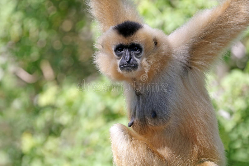 Gibbon zdjęcia stock
