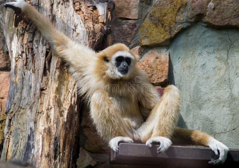 gibbon fotografia de stock royalty free