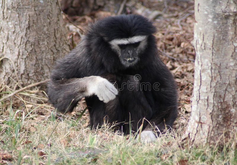 gibbon foto de stock royalty free