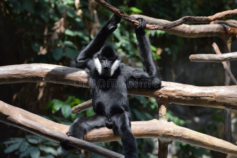 Download Gibbon stockbild. Bild von fahrwerkbeine, ruhe, frühjahr - 96930195