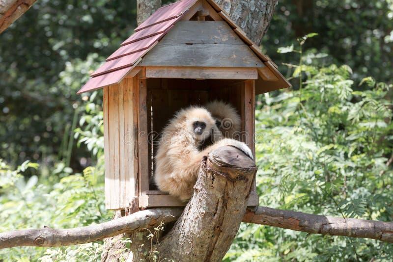 Gibbon zdjęcie stock