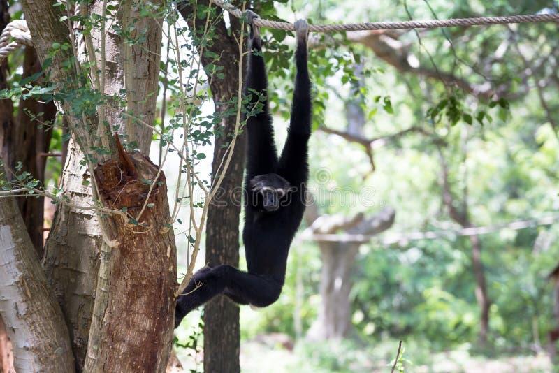 Gibbon zdjęcie royalty free