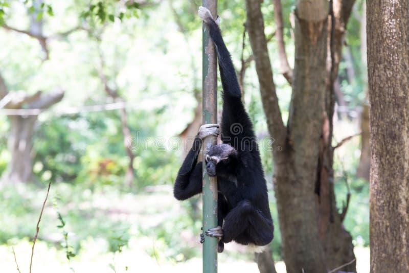 Gibbon obraz stock