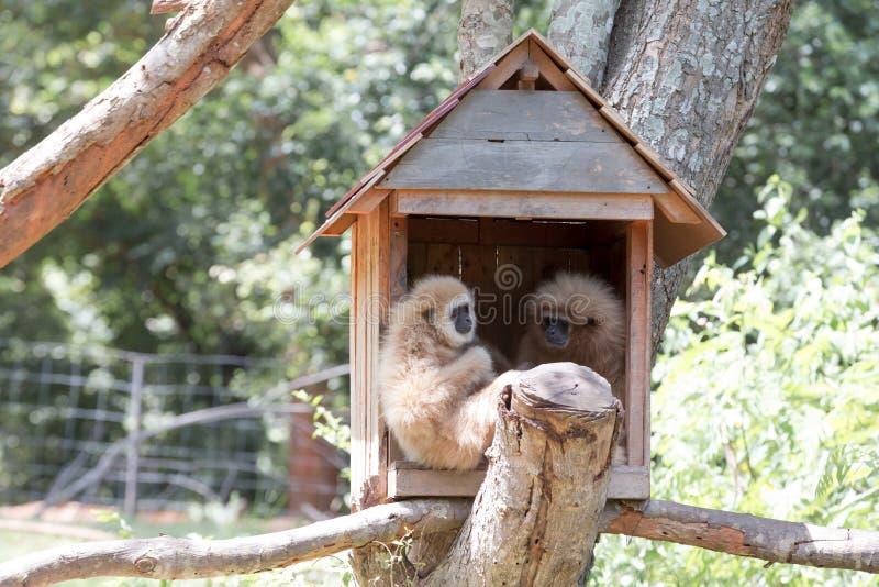 Gibbon fotografia royalty free