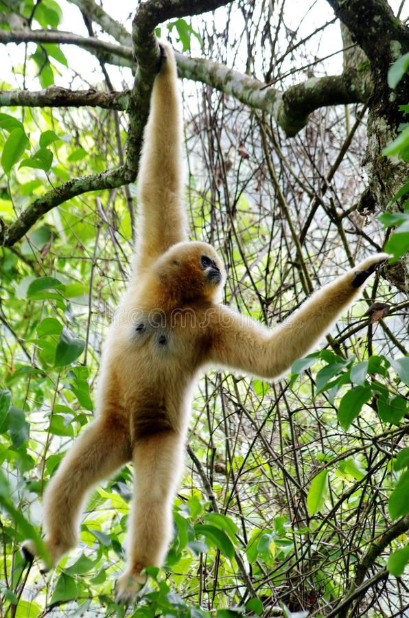 Gibbon-aap stock foto