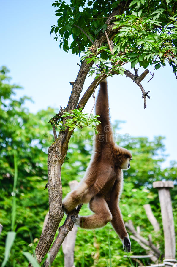 Gibbon-aap royalty-vrije stock fotografie