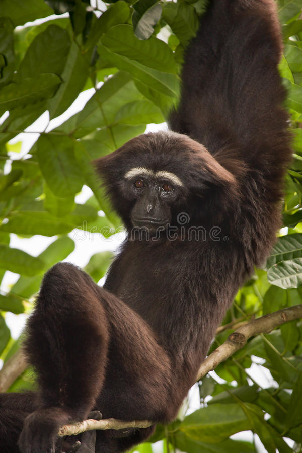 Gibbon agile photographie stock