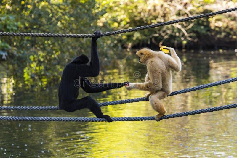 Gibbon Amarelo-cheeked (gabriellae de Nomascus) imagem de stock