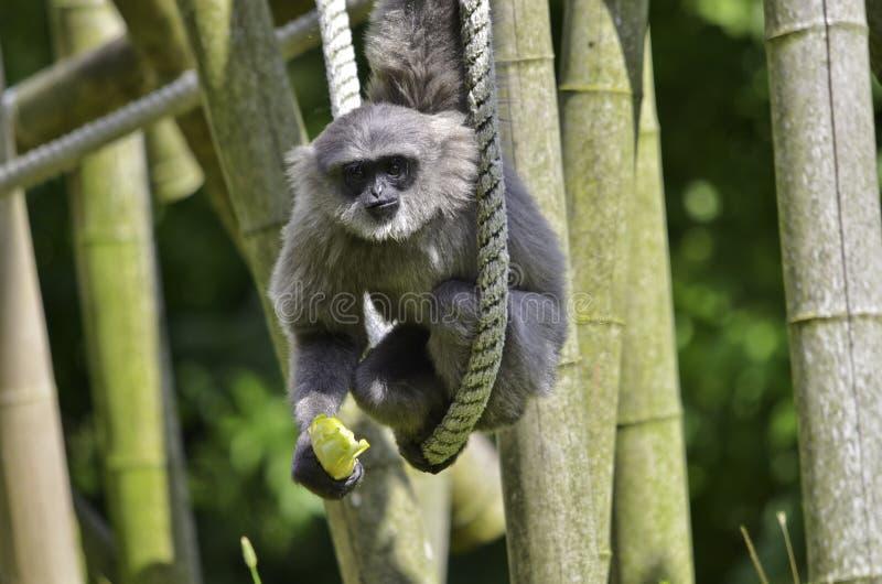 Gibbon argenteo fotografia stock libera da diritti