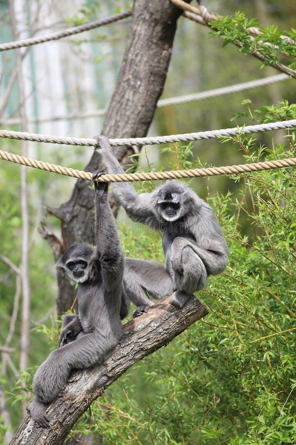 Gibbon argenteo fotografia stock