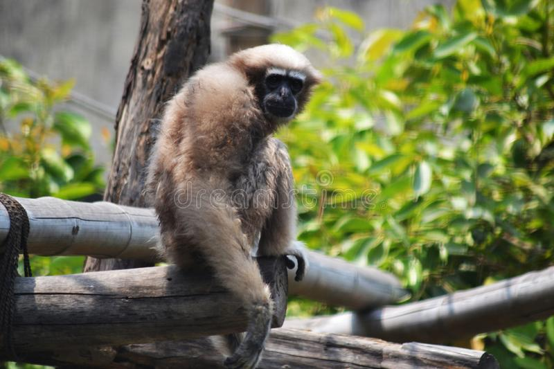 The Gibbon on the bamboo stick.  stock images