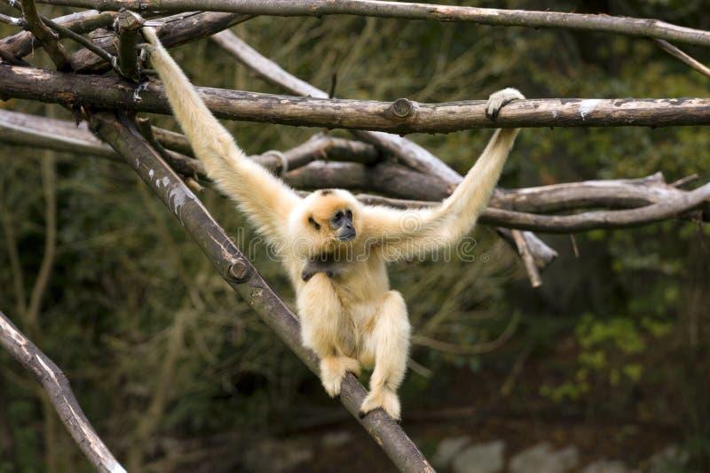 Gibbon Bianco-Cheeked immagine stock libera da diritti