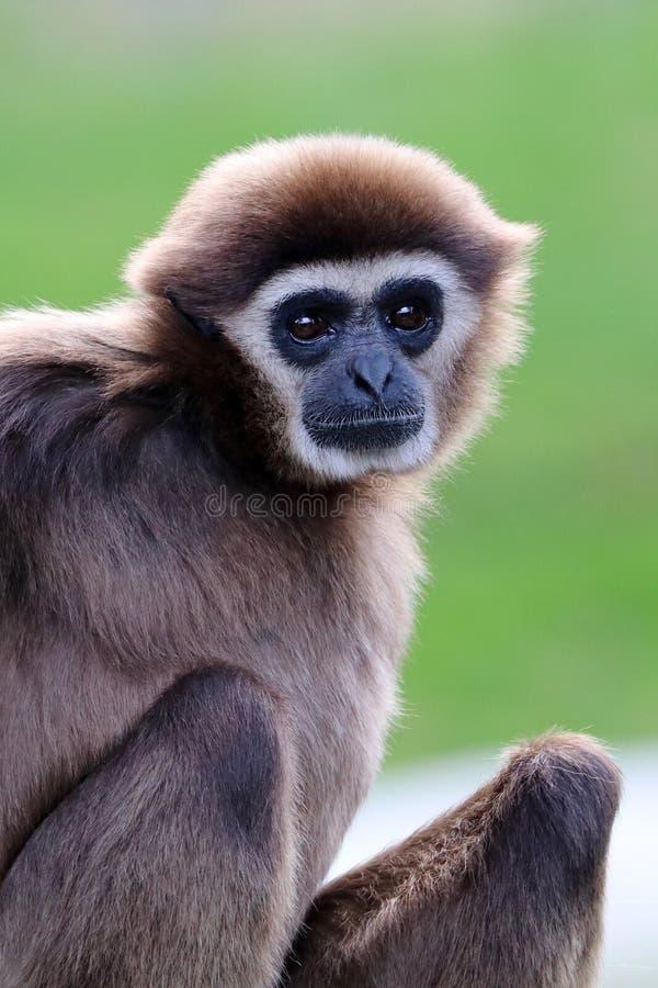 Gibbon Bianco-passato fotografie stock libere da diritti