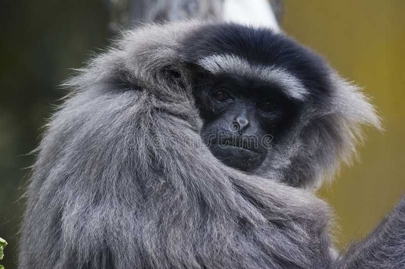 gibbon Bianco-passato fotografie stock