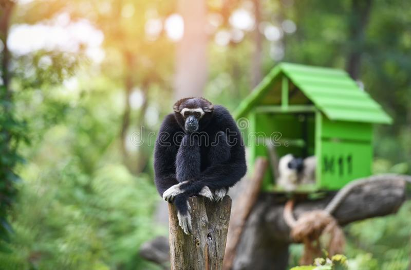 Gibbon black sitting on tree forest in the national park - Hylobates lar stock photo