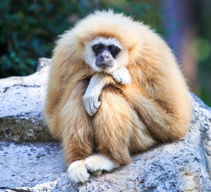 Gibbon blanc photographie stock