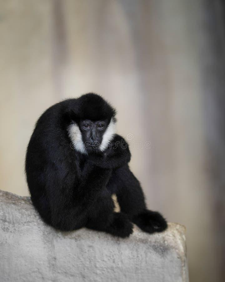 Gibbon blanc-cheeked sur la dalle de roche photographie stock libre de droits