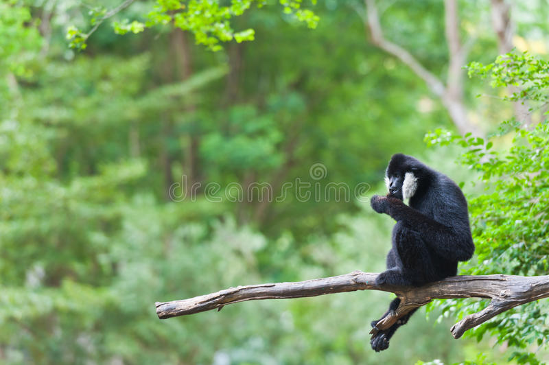 Gibbon blanc de Cheeked ou gibbon de Lar images libres de droits