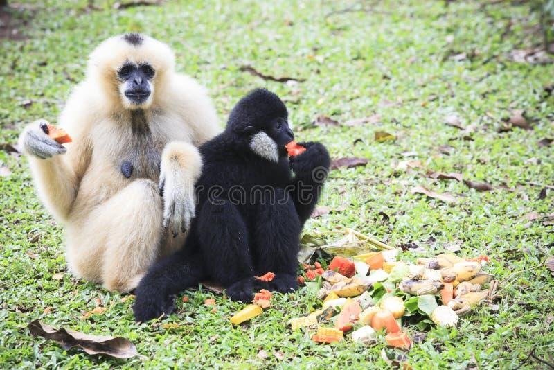 Gibbon blanc de main et cheveux noirs mangeant du fruit sur la terre image libre de droits