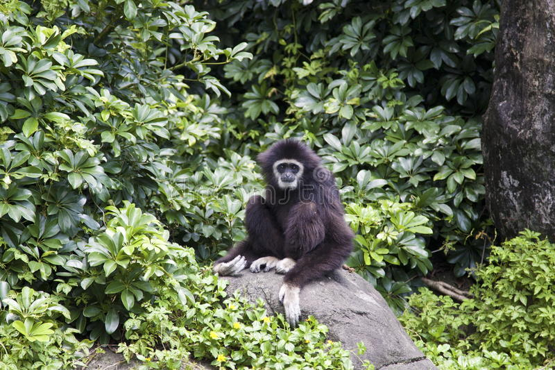 gibbon Blanc-remis, lar de Hylobates photo libre de droits
