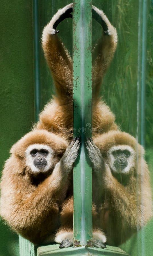 Gibbon Blanco-dado imágenes de archivo libres de regalías
