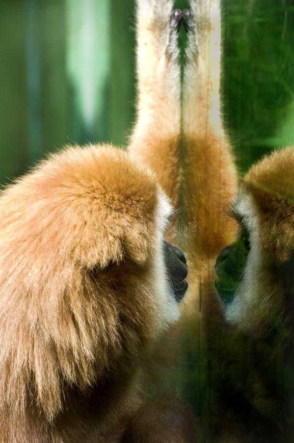 Gibbon Blanco-dado fotografía de archivo libre de regalías