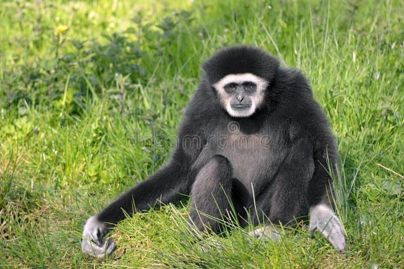 gibbon Blanco-dado que se sienta en hierba fotografía de archivo