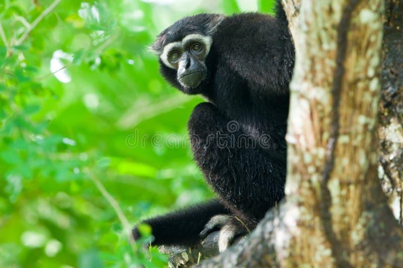 Gibbon branco imagem de stock