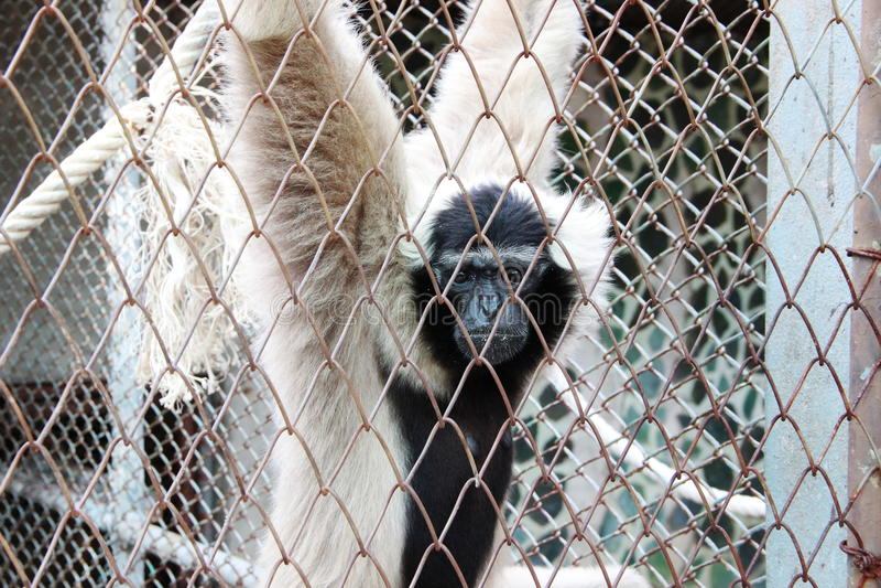 Gibbon branco atrás das gaiolas fotos de stock royalty free