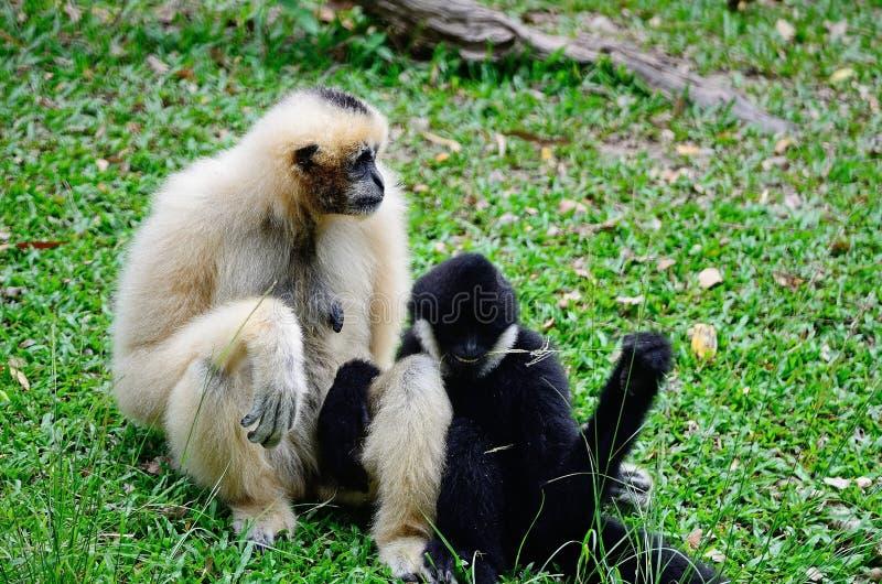 Gibbon branco-cheeked imagens de stock royalty free