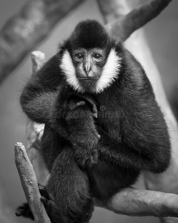 Gibbon branco-Cheeked foto de stock