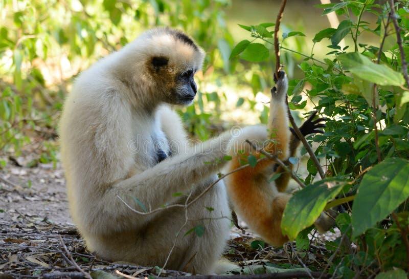 Gibbon branco-cheeked (concolor do Hylobates) fotografia de stock royalty free