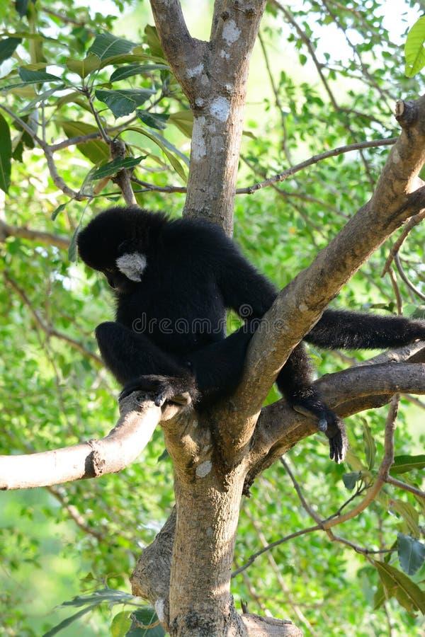 Gibbon branco-cheeked (concolor do Hylobates) fotos de stock royalty free